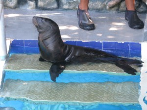 Taco the Baby Sea Lion