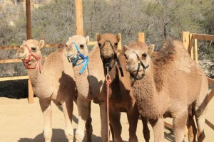 "Dolphin Discovery Presents ""Camel Quest Cabo""!"