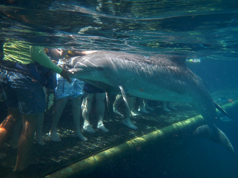 Dolphin Underwater Cozumel Swim With Dolphins With