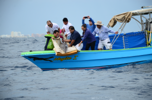 Dolphin Discovery released the rescued dolphin at Cancun