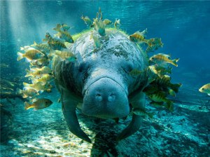 Celebrating the conservation of a great treasure: The manatees