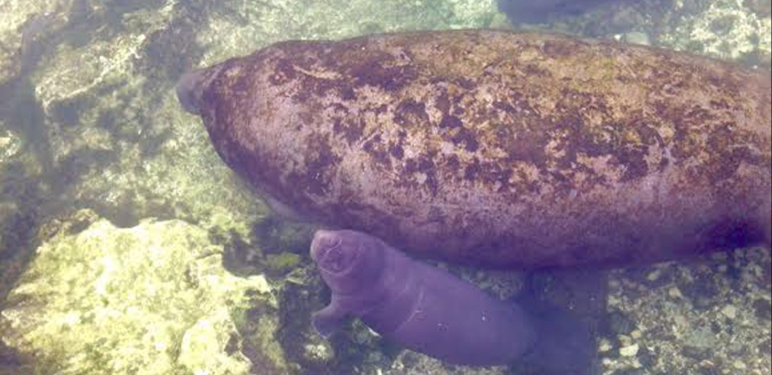 Manatees Dorothy and Paul are parents!