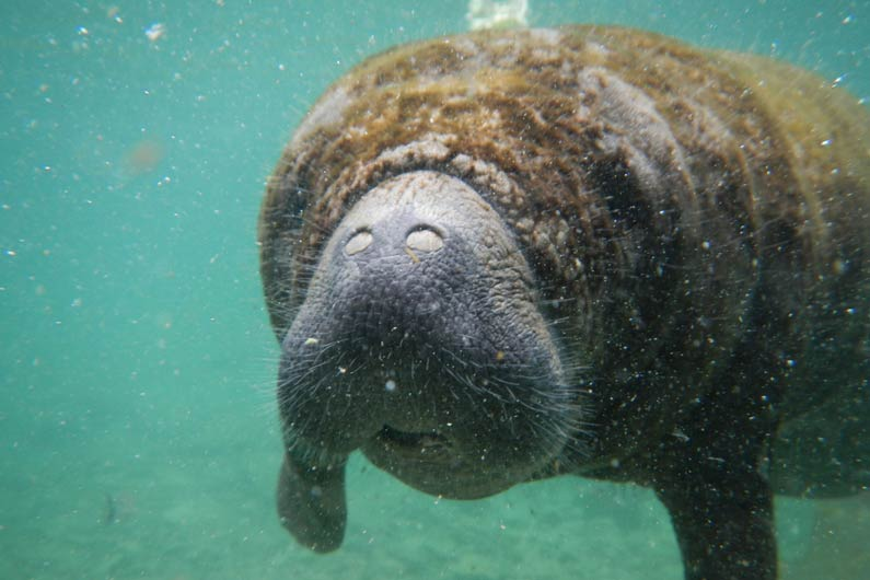 Manatees: 10 interesting facts