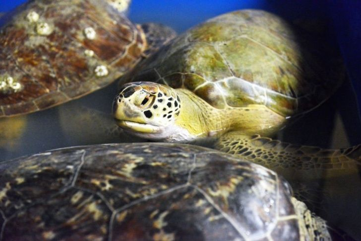 society should rescue green sea turtles Sea turtles (superfamily chelonioidea), sometimes called marine turtles, are reptiles of the order testudines and of the suborder cryptodirathe seven existing species of sea turtles are: the green, loggerhead, kemp's ridley, olive ridley, hawksbill, flatback, and leatherback.